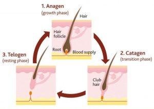 Hair growth cycle Hair Science Clinic